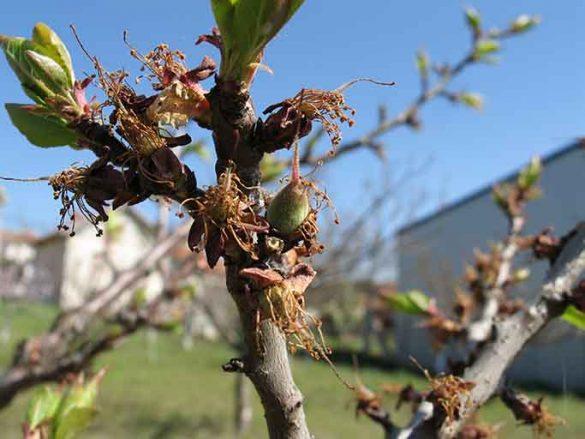 cvet jabuke